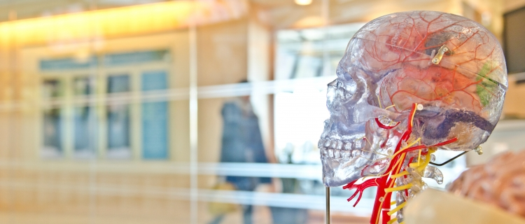 Modell eines Schädels mit Nervensystem