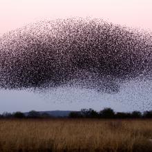 Schwarmintelligenz bei einem Vogelschwarm